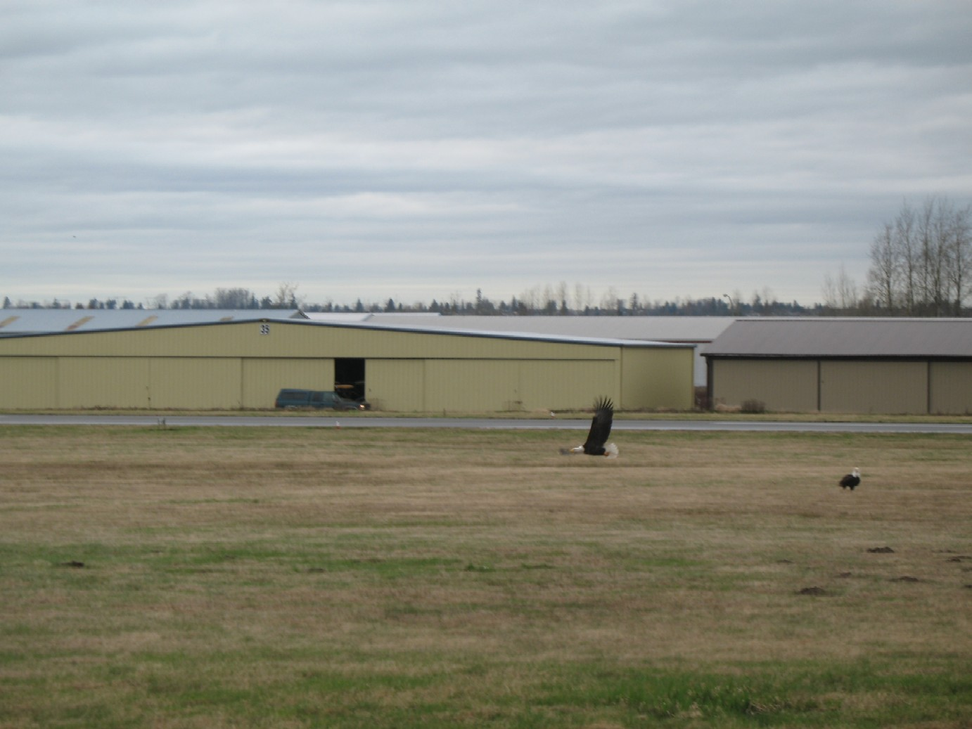Eagles soar at Langley Airport just off the Langley Flying School ramp.